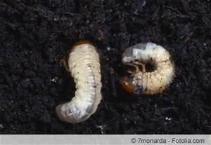 Kleine Fliegen In Der Erde : engerlinge bek mpfen sanfte mittel gegen k ferlarven ~ Frokenaadalensverden.com Haus und Dekorationen
