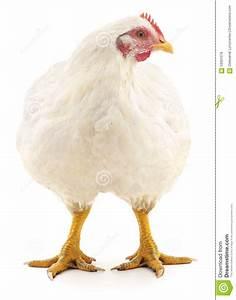 White Hen. Stock Photo - Image: 59301076