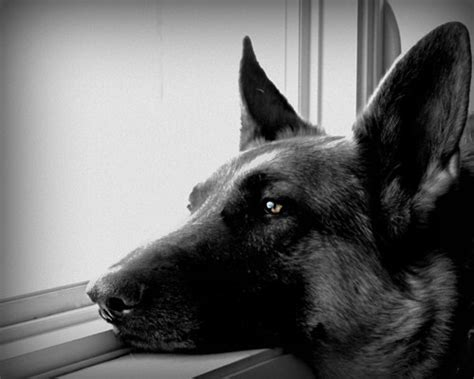quotes  black german shepherds quotesgram