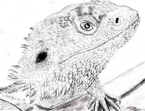 bearded dragon drawing wallpapers background dragon