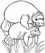 Manatee Coloring Pages Clipart Manatees Preschool Adult Mommy Animal Disney sketch template