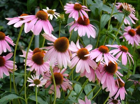 growing echinacea in pots coneflowers in bloom sherry s place