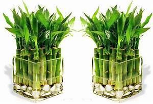 Bambus Pflege Zimmerpflanze : zimmerpflanze bambus ~ Michelbontemps.com Haus und Dekorationen