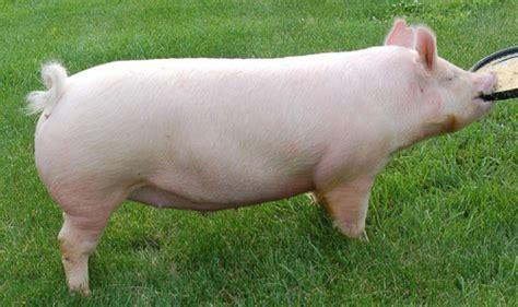 pig breeds american yorkshire
