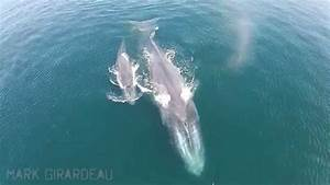Mother and baby blue whales off Orange County Coast - YouTube