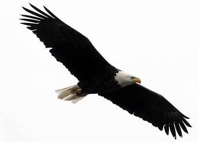 Eagle Bald Clipart Transparent Eagles Clip Soar