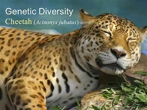 Cheetah  Genetic Diversity