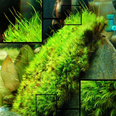 moos für aquarium frog pillow moss peat replacement for softwater aquarium