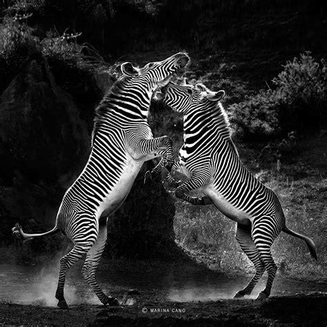 Zebra Marina Cano Wildlife Photography By Marina Cano
