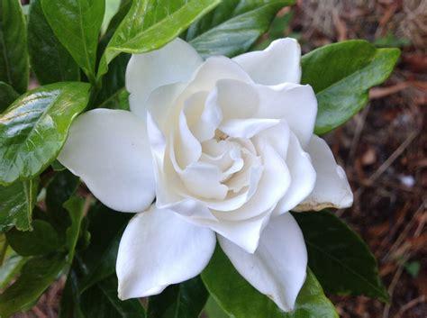 Gardenia Summer Snow by Gardenia Summersnow Fraserview Nursery Ltd