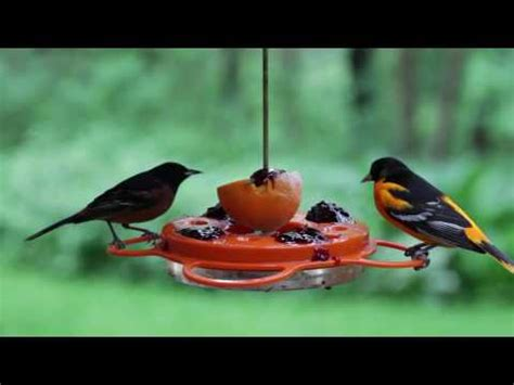 baltimore  orchard oriole  feeder youtube