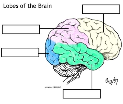 brain lobes worksheet apologia anatomy physiology