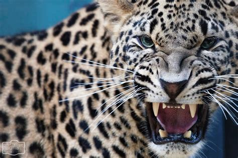 Leopards Animals Cats Face Eyes Pov Fangs Predator Spots