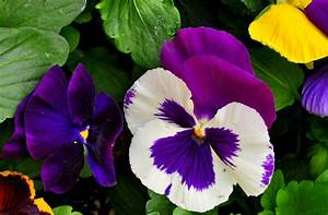 Pansy Flower Wallpaper | Wallpapers9