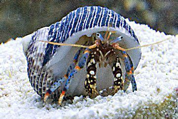 Decorator Crab Reef Safe by Reef Safe Hermit Crabs Information And Facts