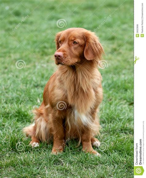 newfoundland duck retriever breeds picture
