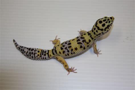 leopard gecko leopard gecko eublepharis macularius genetics breeding