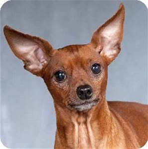 Red | Adopted Dog | Chicago, IL | Miniature Pinscher/Rat ...