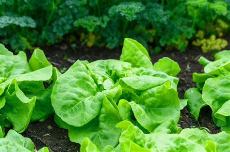 grow greens leafy greens as easy to grow vegetables via hydroponic system