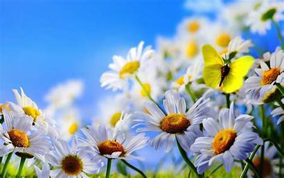 Spring Flowers Sky Butterfly Daisies Wallpapers13 Resolution