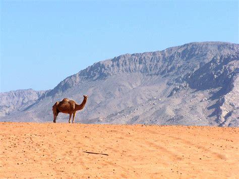 camel hd wallpapers background images wallpaper abyss