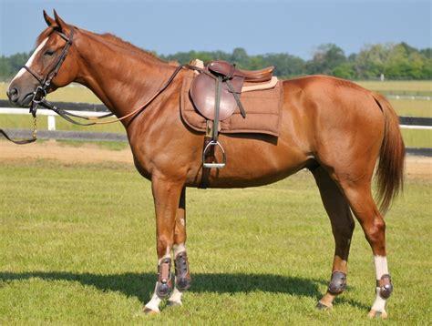 saddle horse horses saddles western english equestrian pad riding google photographs half equine pads