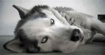 Husky Siberian Flickr Breathing Animated Imagebank Weldon