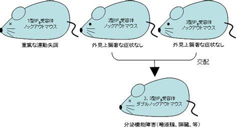 図2: 本研究で作成したIP3受容体ノックアウトマウス
