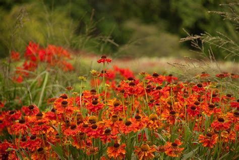 flowers to plant in late summer 6 late flowering perennials lisa cox garden designs blog