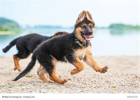 deutscher schaeferhund steckbrief fci klasse wesen
