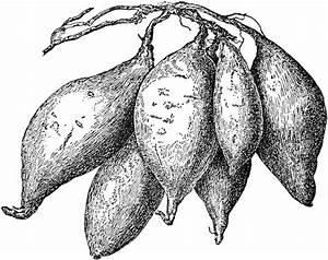 Sweet Potatoes | ClipArt ETC