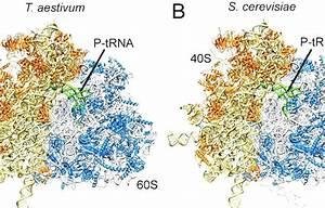 Eukaryotic Ribosome  80s