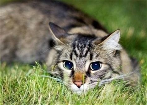 do cats shed their whiskers why do cats whiskers animal health support