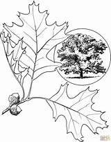 Oak Tree Coloring Eastern Drawing Printable sketch template
