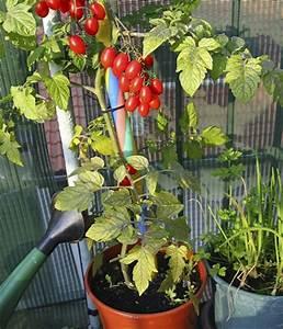 Gemüse Auf Dem Balkon : ingwer anbauen anleitung ingwer selbst pflanzen auf dem balkon ~ Lizthompson.info Haus und Dekorationen