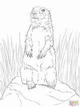 Prairie Dog Coloring Drawing Town Sheet Standing Pages Template Getdrawings Paintingvalley sketch template