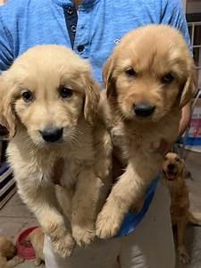 golden retriever puppies for sale santa ca 302565