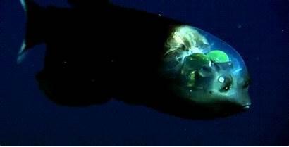 Sea Gifs Barreleye Fish Animated Barnorama Pacific