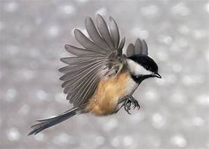 Flying Chickadee Photograph by Leda Robertson