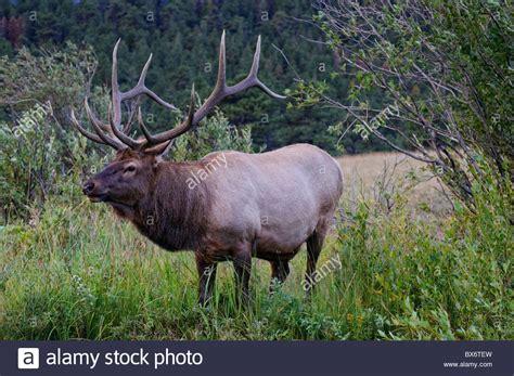 Haus Kaufen Rocky Mountains Usa by Wapiti Hirsche Rocky Mountain Nationalpark Estes Park