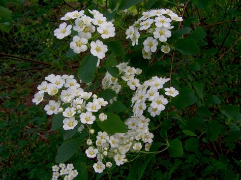 blooming bush new river gorge photo gallery blooming plants shrubs of early spring blooming shrub