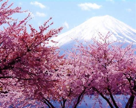 cherry blossom tree l tree blossoms wallpaper wallpaper wide hd