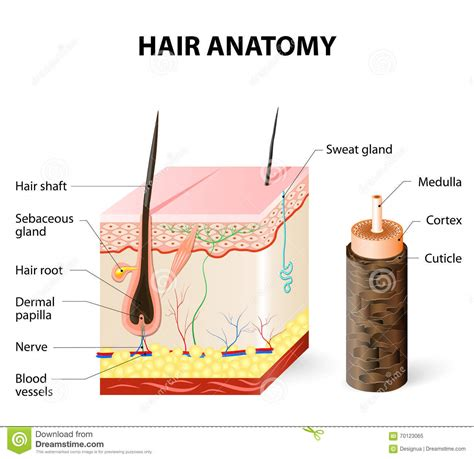 Hair Anatomy Diagram by Diagram Of A Hair Follicle In A Cross Section Of Skin