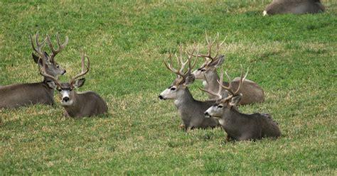 colorado hunting deer mule gohunt springs