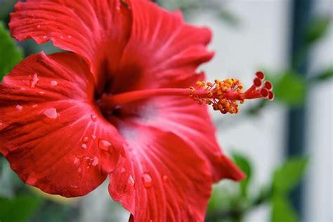 fiore della bellezza ibisco il fiore della bellezza piante da giardino