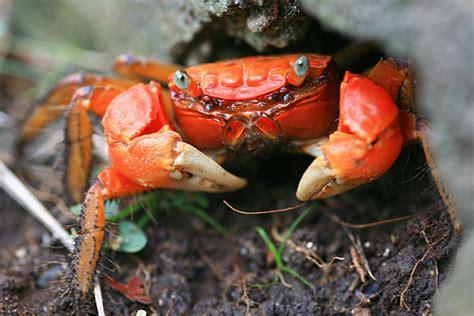 exemple chambre crabe un crustace etonnant en images dinosoria