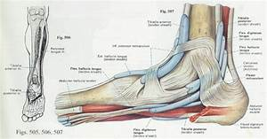 Foot Anatomy And Function