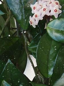 Plante Intérieur Grimpante : l 39 acalypha poss de des fleurs tonnantes et color es ~ Louise-bijoux.com Idées de Décoration