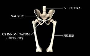 Hip Joint - Hip Bone Sacrum Femur