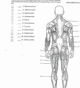 Anatomy Labeling Worksheets Human Muscle Labeling
